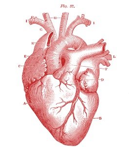 Royalty-Free-Images-Anatomy-Heart--GraphicsFairy-red